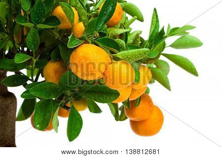 beautiful tangerine tree on a white background