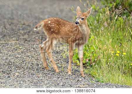 Small doe by the grass in Ocean Shores Washington.
