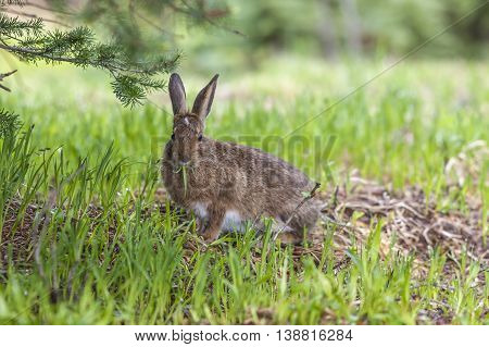 Snowshoe hare eats grass in early summer on Hurricane Ridge Washington.