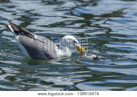 Herring gull feeding in the water in Westhaven Cove in Westport Washington.