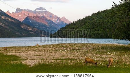 Deers grazing by the Waterton Lake at dusk