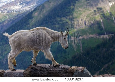 Mountain goat at Going-to-the-Sun Road, Glacier National Park