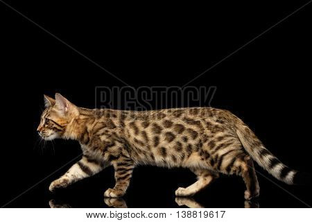 Playful Bengal Kitty Walking on Isolated Black Background, Beautiful Spots on gold