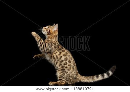 Playful Bengal Kitty Funny Standing on hind legs and Raising up paws Isolated Black Background, Beautiful Spots on gold, Catching