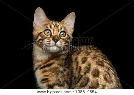 Closeup of Bengal Kitty, Funny Looking in Camera Isolated on Black Background, Side view, Beautiful Spots on gold
