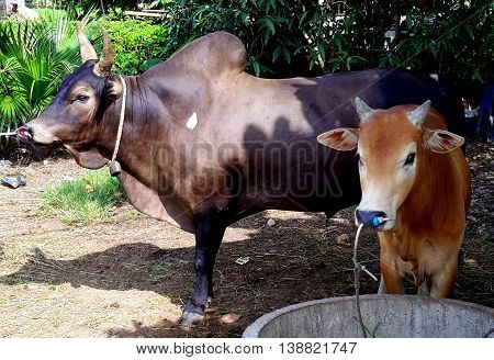 dark brown Thai Brahman fighting bull and reddish calf tethered near feeding trough, Ranot, Thailand