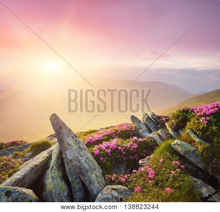 Summer flowers in the mountains. Beautiful sunrise with fog. Blooming pink rhododendron on the hillside. Bright sunlight. Beauty in nature. Art processing of photos. Color toning
