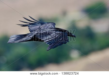 Common Raven Flying High Over the Countryside