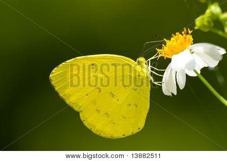Mariposa amarilla se alimenta de pequeña flor blanca