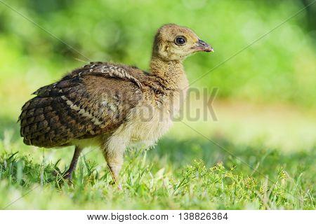 Beautiful Child Peacock