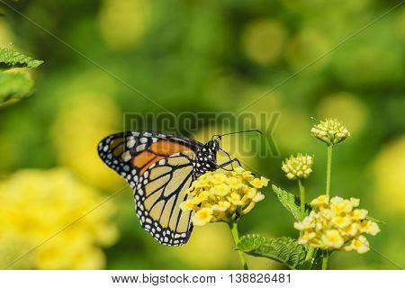 Beautiful Yellow Butterfly - Danaus Genutia