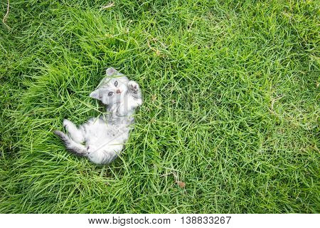 Cute American Shorthair kitten lying on green grass with copy space on right