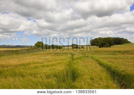 Ripening Barley Fields