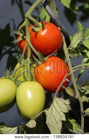 Fresh organic Roma Tomato on the Field