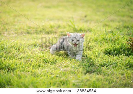 Cute American Shorthair kitten smiling and walking on green grass under sunlight