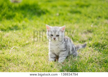 Close up cute American Shorthair kitten standing and looking on green grass