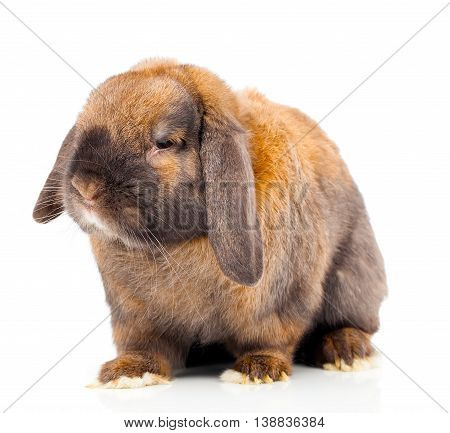 one brown rabbit isolated over white background.