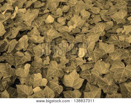 Ivy Leaves Sepia