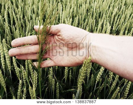 Man Hand Touch Weed In Wheat Field. Young Green Wheat