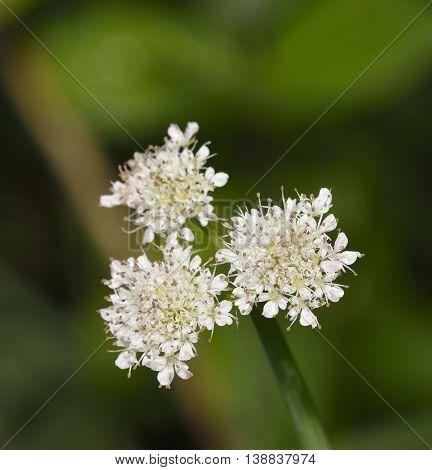 Tubular Water-dropwort or Water Lovage - Oenanthe fistulosa