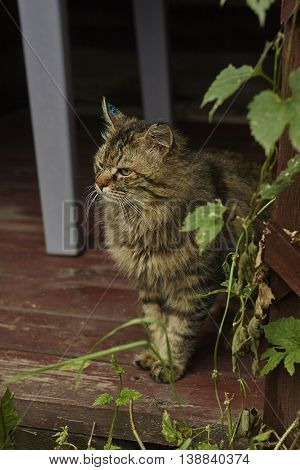 angry siberian tomcat with brilliance green on hurted ear