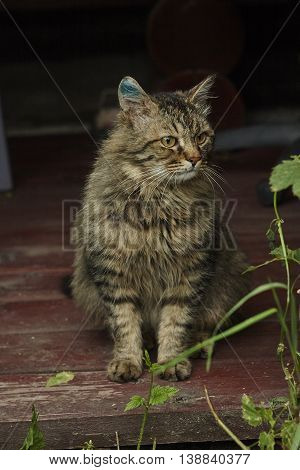 sideview of nice siberian tomcat with brilliance green on hurted ear