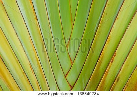 close-up of traveler'€™s tree or traveler's palm