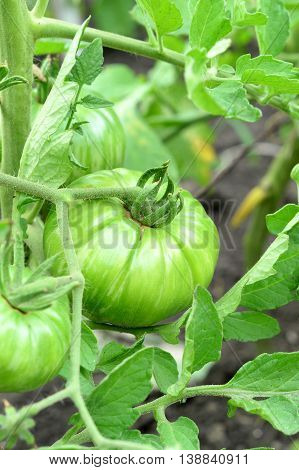 Green tomatoes on a branch. Large unripe tomatoes growing in a garden outdoors. Vegetable gardening. Closeup