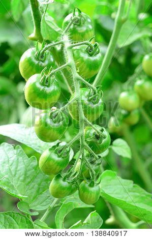 Branch of unripe cherry tomatoes outdoors. How to grow cherry tomatoes in a vegetable garden. Closeup