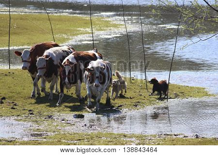 Two sheepdogs and cows run at watering place