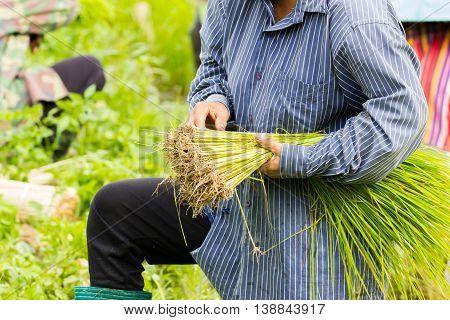 closeup Thai farmer preparation rice seedlings for planting.
