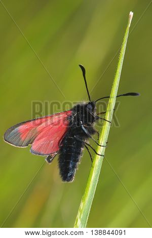 Transparent Burnet moth Zygaena purpuralis on the grass