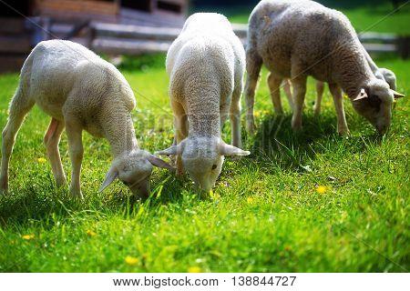 Little lambs grazing on a beautiful green meadow with dandelion