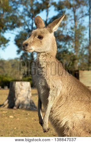 Peaceful Kangaroo in the park