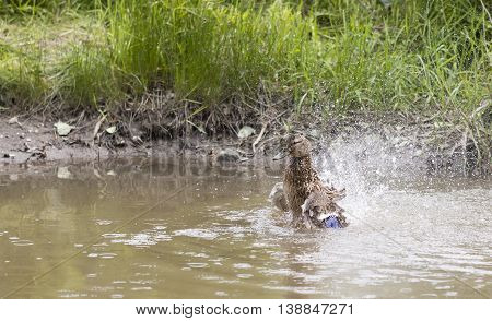 Brown duck is splashing and washing itself in a brownish pond