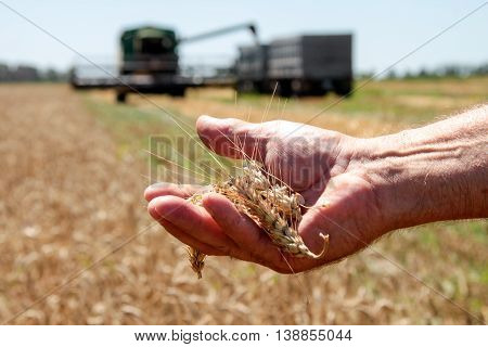 Wheat spikelet lie on male palm in sunny summer day closeup