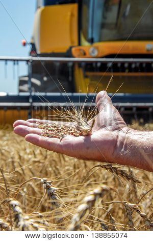 Wheat spikelet lie on male palm against the background of the harvester in sunny summer day closeup