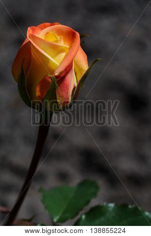 Yellow and orange rose on a dark background