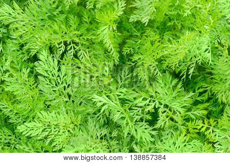 Background of a carrot leafy tops on a field closeup