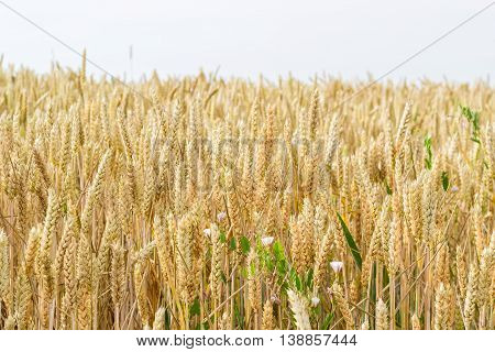Ears of ripening wheat on a field in summer day closeup