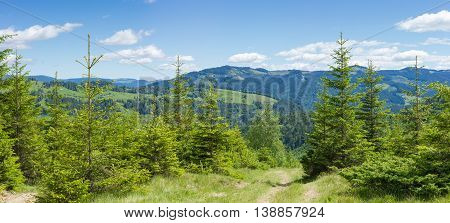 Carpathian mountain landscape with several mountain ranges and the young spruce trees in the foreground in summer day