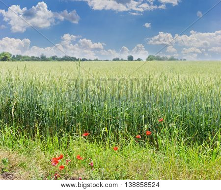 Ripening wheat on a field with poppies in the foreground against the sky with clouds in summer day