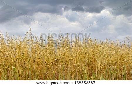 Ripening oat on a field against the sky with storm clouds