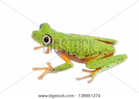 Lemur leaf frog, agalychnis lemur, isolated on white background