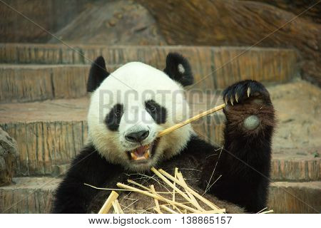 Giant panda bear eating bamboo, panda in nature