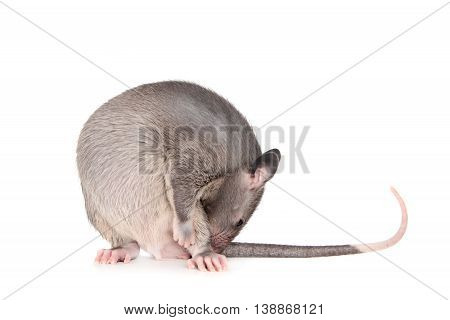 Gambian pouched rat cub, Cricetomys gambianus, isolated on white background
