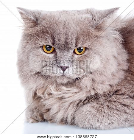 cute gray Scottish long-haired straight cat witn Cupcakes with which his portrait on a white background