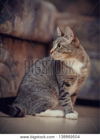 The striped domestic cat with white paws sits on a floor.