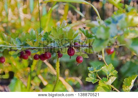Gooseberries on the bush in the garden of a private house