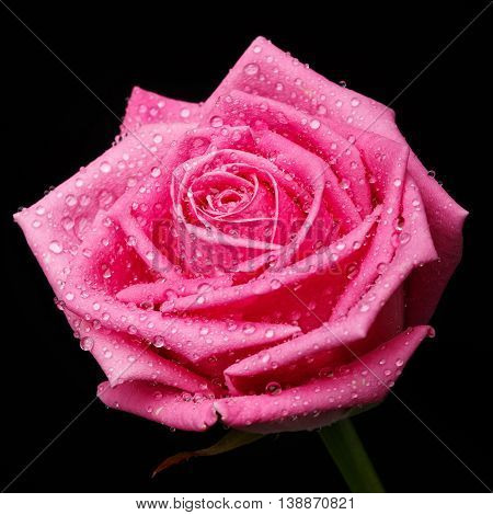 beautiful pink rose head isolater on black background
